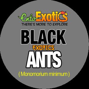 Bulk Black Ants